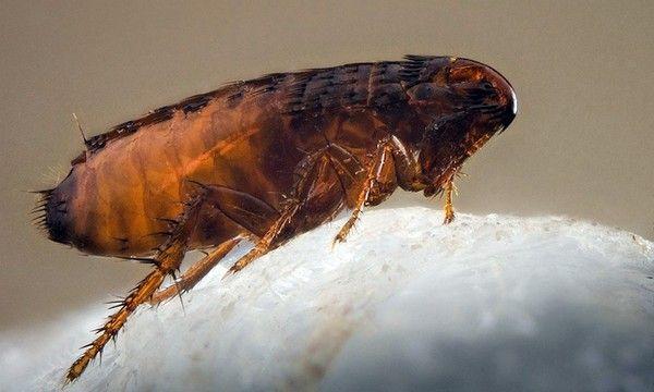 Veľké škody spôsobené malými parazitmi alebo ako sa zbaviť pivničných bĺch