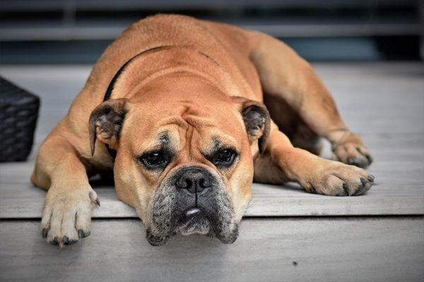 Сумний пес лежить на порозі