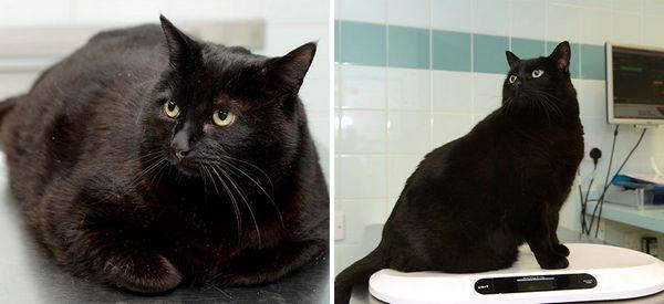 Боротьба з ожирінням кішок в Англії
