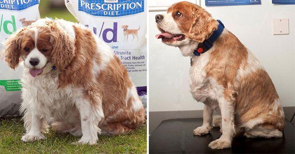 Боротьба з ожирінням собак в Англії