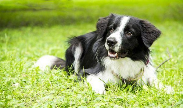 Бордер коллі вважається найрозумнішою собакою в світі