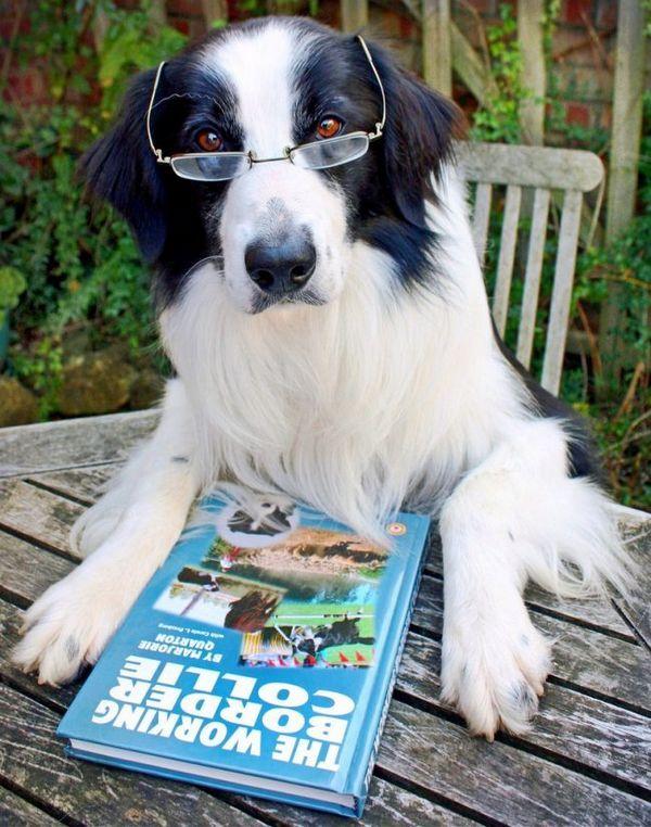 Інтелект бордер коллі дозволяє навіть читати книги
