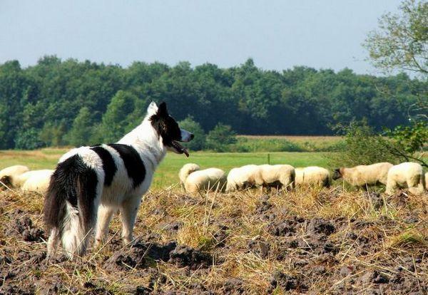 Бордер коллі зарекомендували себе відповідальними пастухами