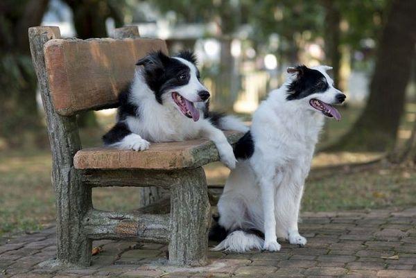Інтелігентна парочка бордер коллі на романтичному побаченні в парку