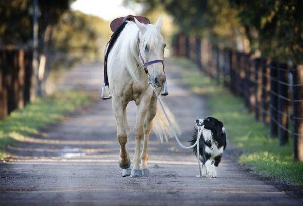 Принц бордер коллі з білим конем