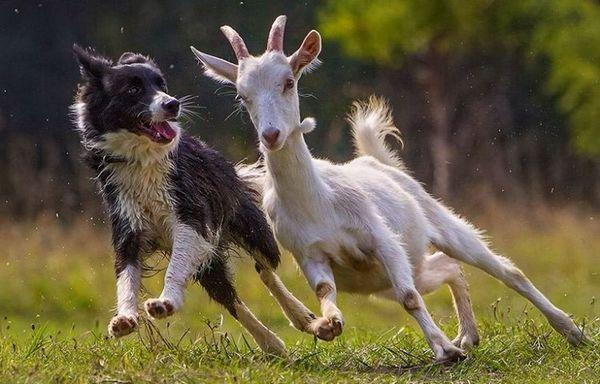 бордер-коллі пастух
