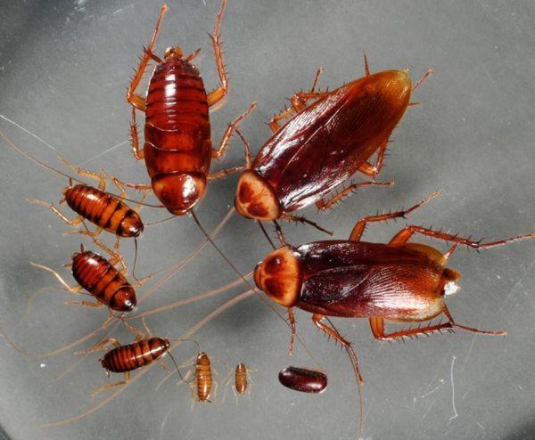 Kyselina boritá proti švábom: osvedčený liek