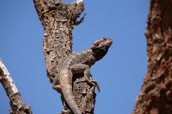 Агама на дереві