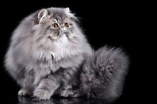 Пухнастий персидський кіт