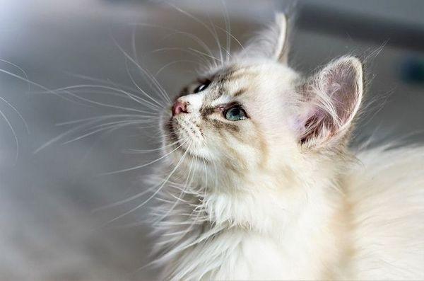 Пухнастий білий кіт