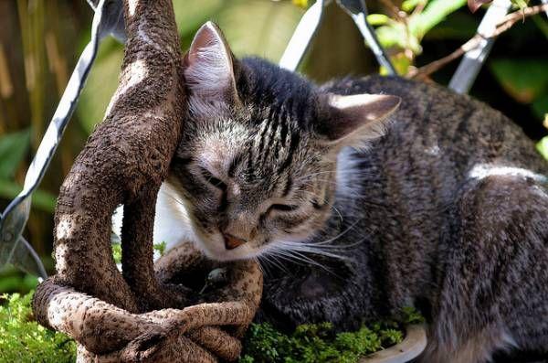 Brazílska krátkosrstá mačka: podrobné oboznámenie sa s plemenom
