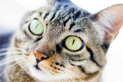 Brazílska krátkosrstá mačka: senora gato