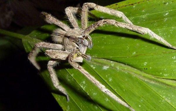 Brazílsky potulný pavúk