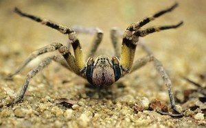 Pavúk brazílskeho putujúceho vojaka