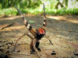 Агресивний бразильський павук - смертельно отруйний