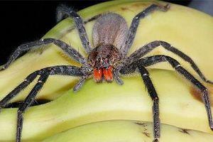 Мандрівний бразильський павук - як відрізнити