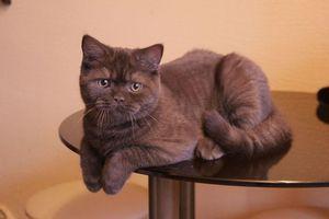 Britská čokoláda: farba, fotografia mačiek