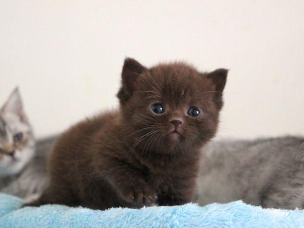 Красиві кошенята британці