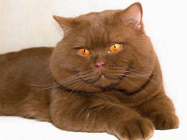 Британські шоколадні кошенята