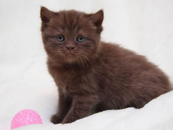 Шоколадні британські кошенята