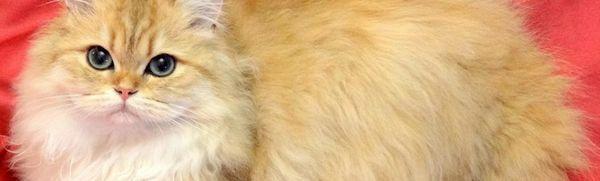 Britská dlhosrstá mačka: popis plemena a bežné farby