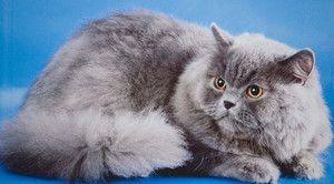 Britská dlhosrstá mačka a mačiatko - normy a obsah