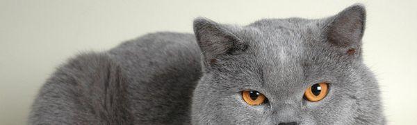 Britská mačka: povahové vlastnosti a správanie