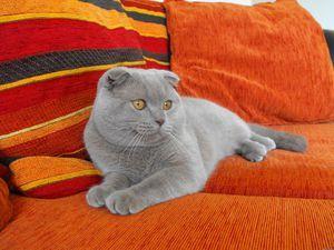 Кішка висловуха британець
