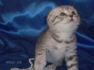 Висловухий кошеня британець