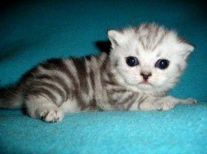 Вислоухая порід британського кошеня