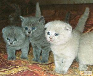 Яскраві британські кошенята