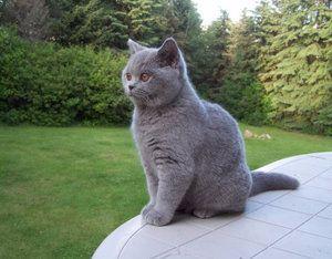 Britská krátkosrstá mačka: funkcie starostlivosti