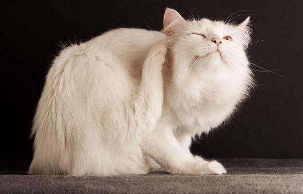 Блохи у білій кішки