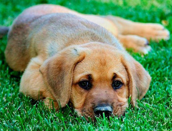 порода собак брохольмер