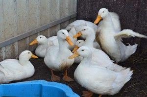 Brojlerová kačica: ako pestovať doma