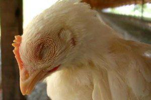 Бройлери кихат и хрипят - как да се отнасяме към пилета и възрастни кокошки