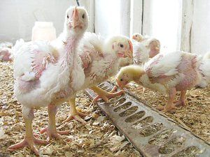 Студени заболявания на пилета