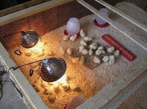 Як виготовити брудер для курчат