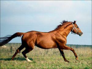 Будьонівська порода коней: особливості та характеристика