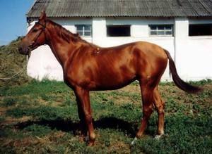 Розведення будьоннівських коней