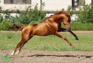 Верхово-упряжні порода коней