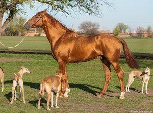 Кінь і собаки