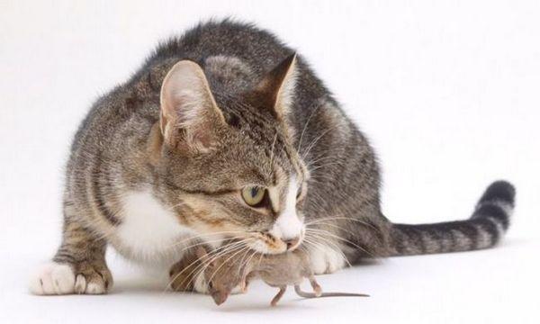 Bude mačka po kastrácii chytať myši: 10 mýtov a mylných predstáv