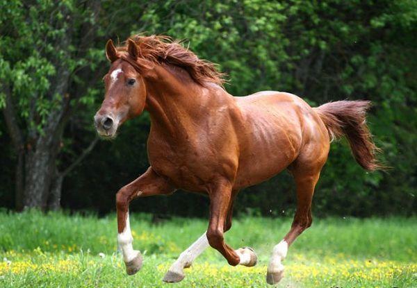 Budyonnovskaya plemeno koní