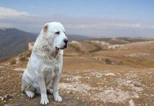 Собака алабай - особливості породи