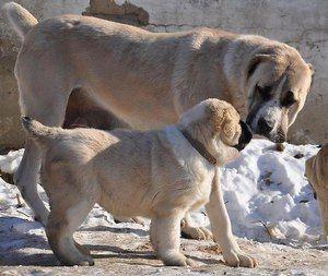 Як виглядає середньоазіатська вівчарка - цуценята та дорослі собаки
