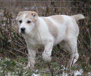 Щеня алабая - правильний розвиток собаки