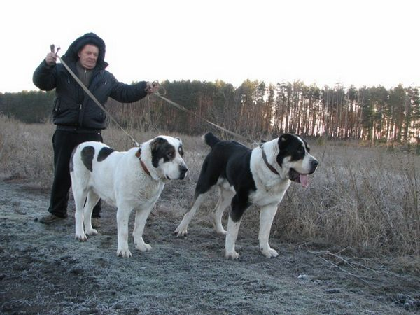 Діти Бульдозер - великі собаки на прогулянці