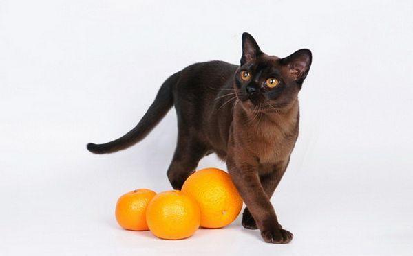 бурманська кішка