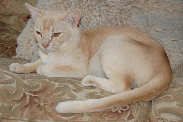Червона бурманська кішка